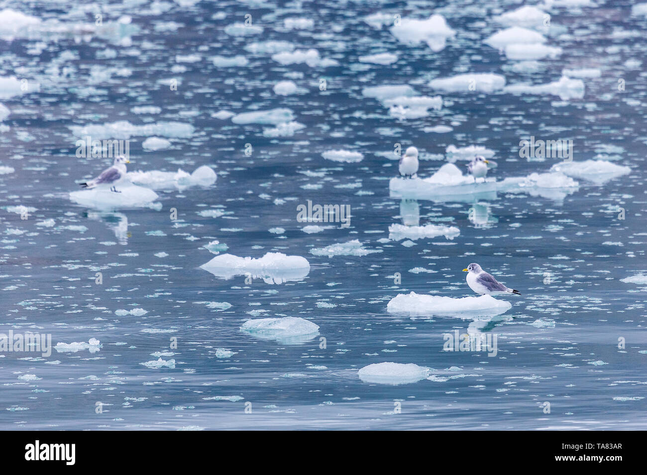 Sea Gulls on a glacier peaces, Pyramiden, Svalbard, Norway - Stock Image