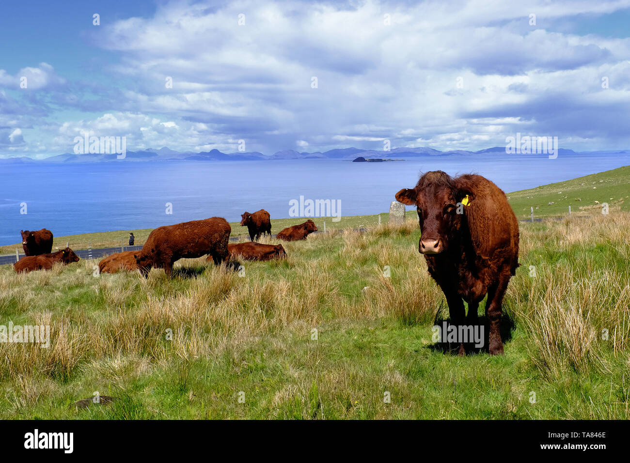 Isle of Skye, Cows at Colbost Folk Museum, Dunvegan Scotland May 8th - 19th. Trip across Scotland Foto Samantha Zucchi Insidefoto - Stock Image
