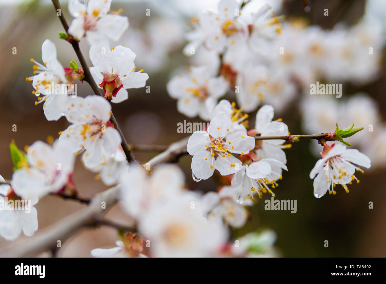 First apricot flowers. Flowering apricot on a clear spring day. - Stock Image