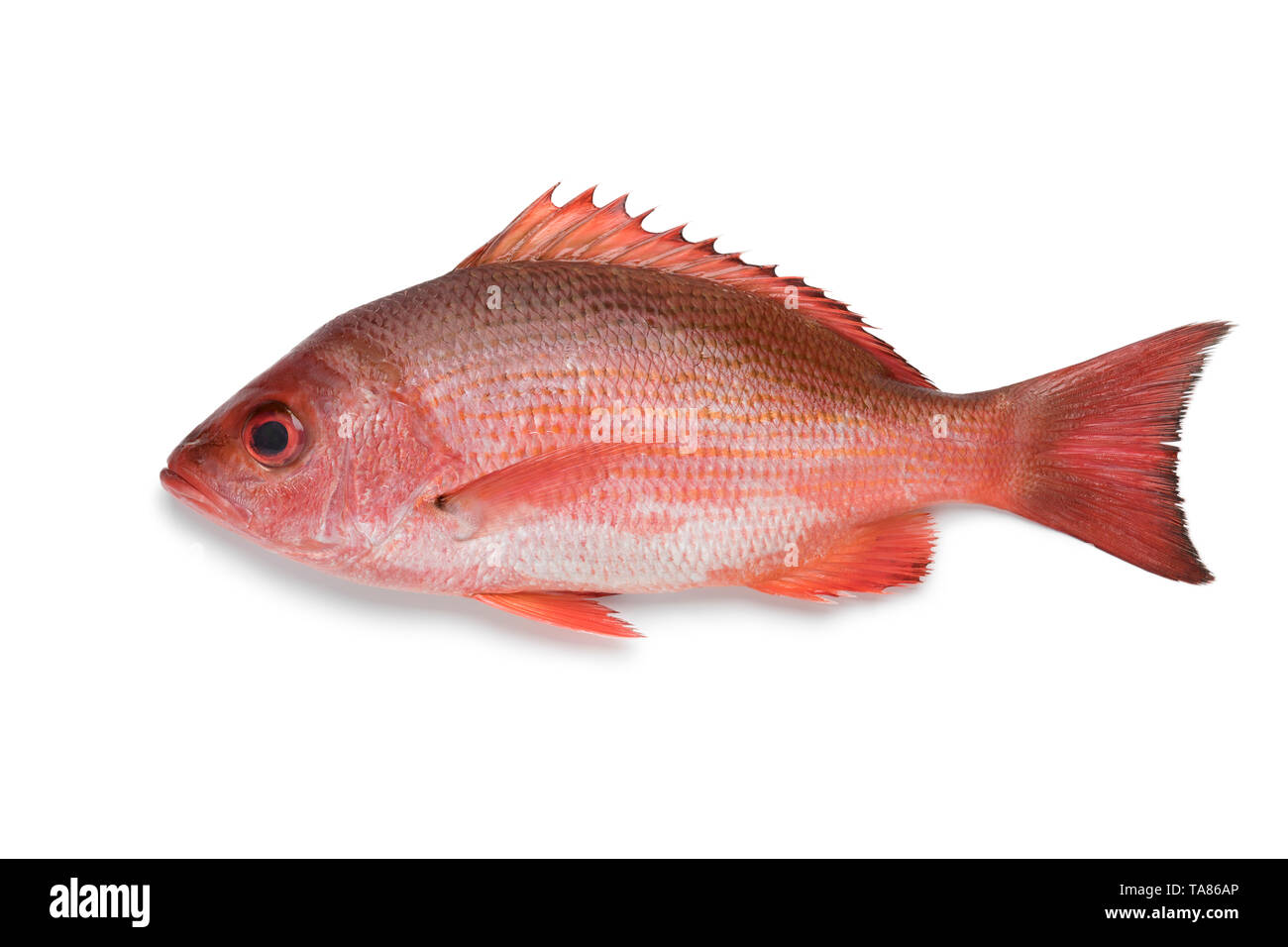 Single Northern red snapper isolated on white background Stock Photo