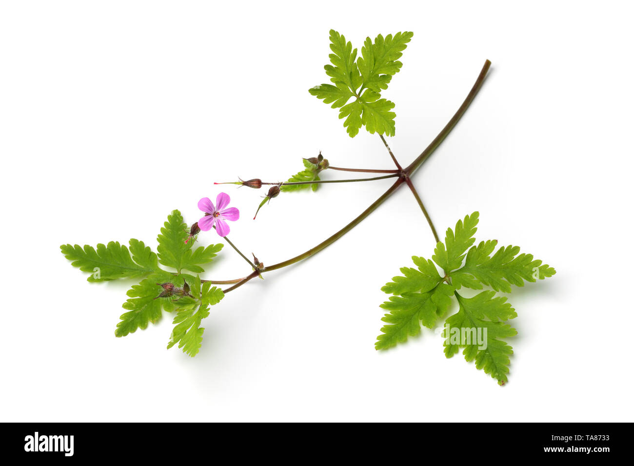 Fresh twig of Roberts geranium, herb Robert,, isolated on white background - Stock Image