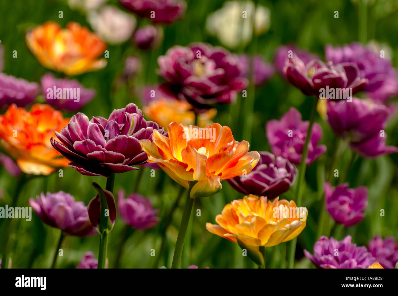 Tulip festival in St. Petersburg on Elagin island in may 2019. - Stock Image