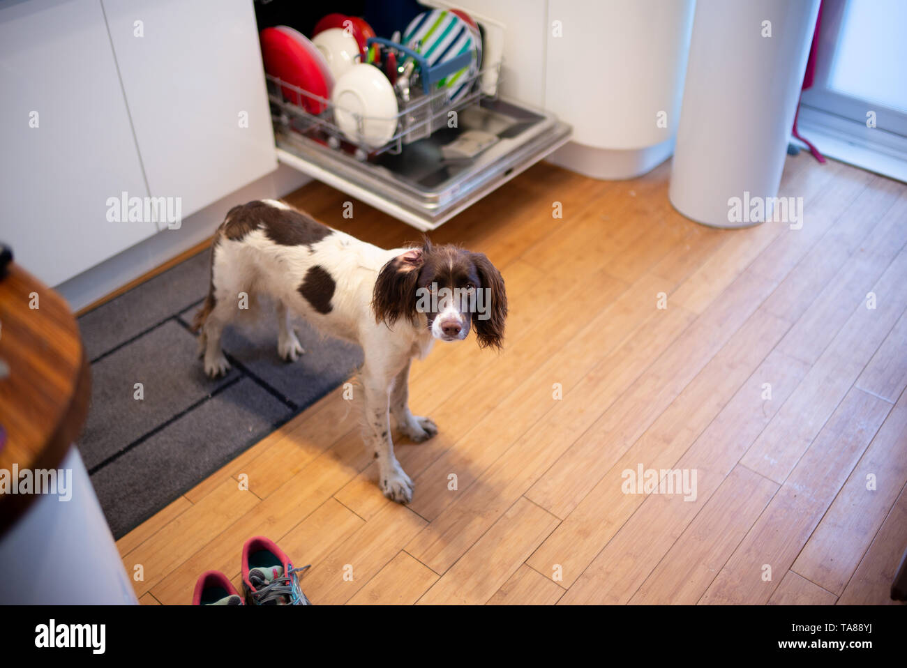A young English Springer spaniel looks direct to camera whilst stood in the kitchen next to the dishwasher waiting to be fed. Stock Photo