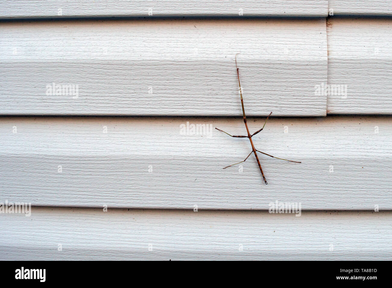 A creepy looking insect, resembing a small woody branch, identified as a walkingstick clings to the siding on a house in southwest Missouri. - Stock Image