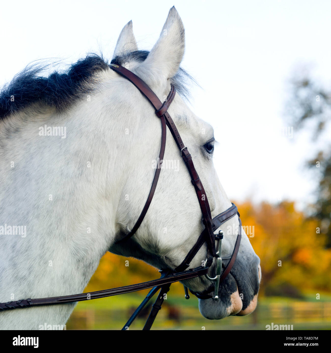 1b60553ecb Bridle Stock Photos & Bridle Stock Images - Page 2 - Alamy