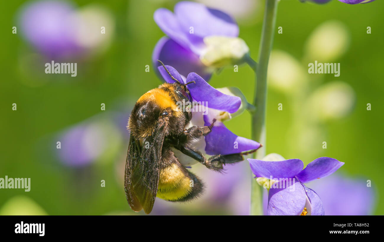 Bumble bee species feeding / pollinating on a purple wildflower in the Theodore Wirth Park in Minneapolis - Stock Image