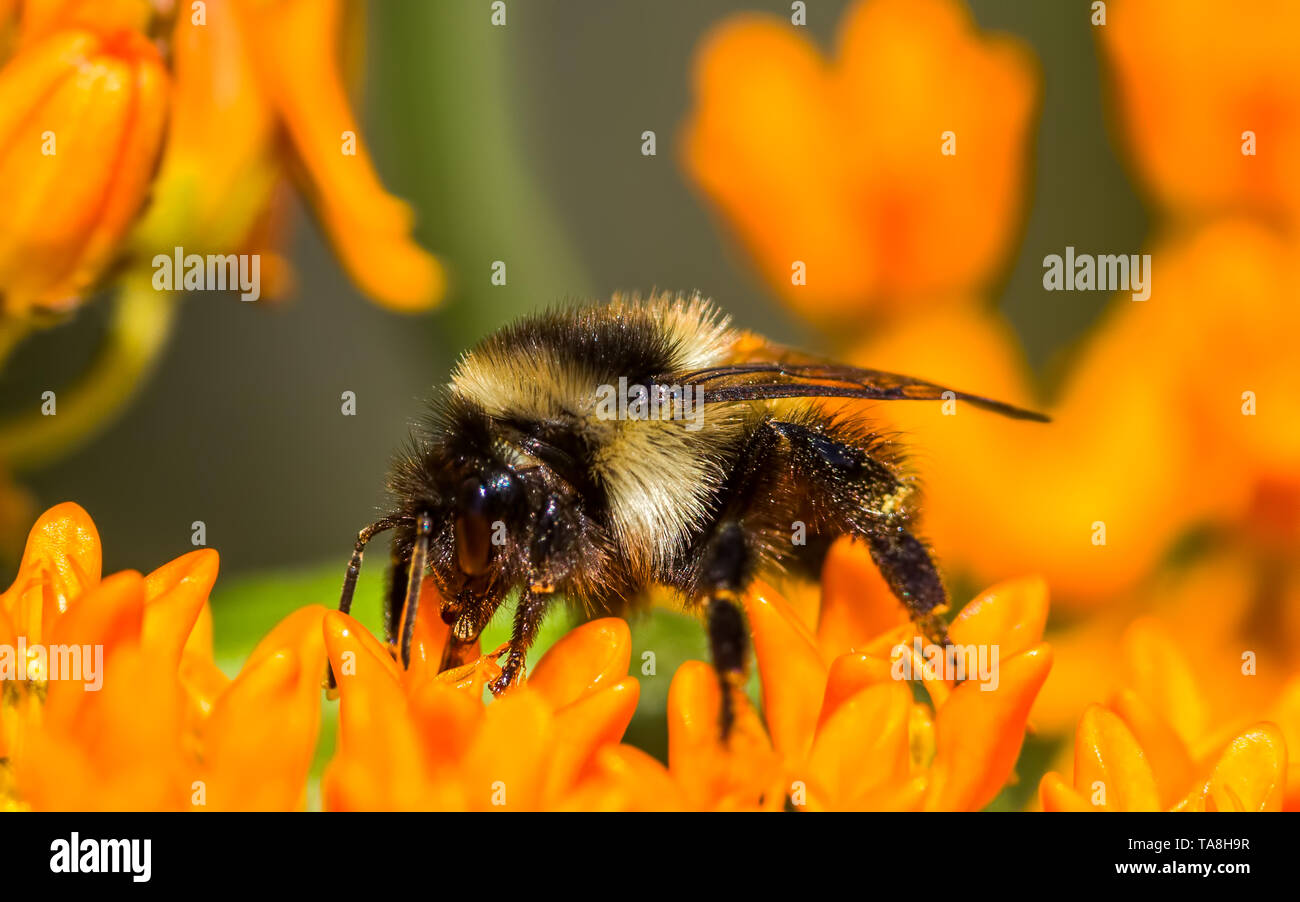 Orange-belted bumble bee on butterfly milkweed orange flower at the Crex Meadows Wildlife Area in Northern Wisconsin - Extreme closeup macro detail fo - Stock Image