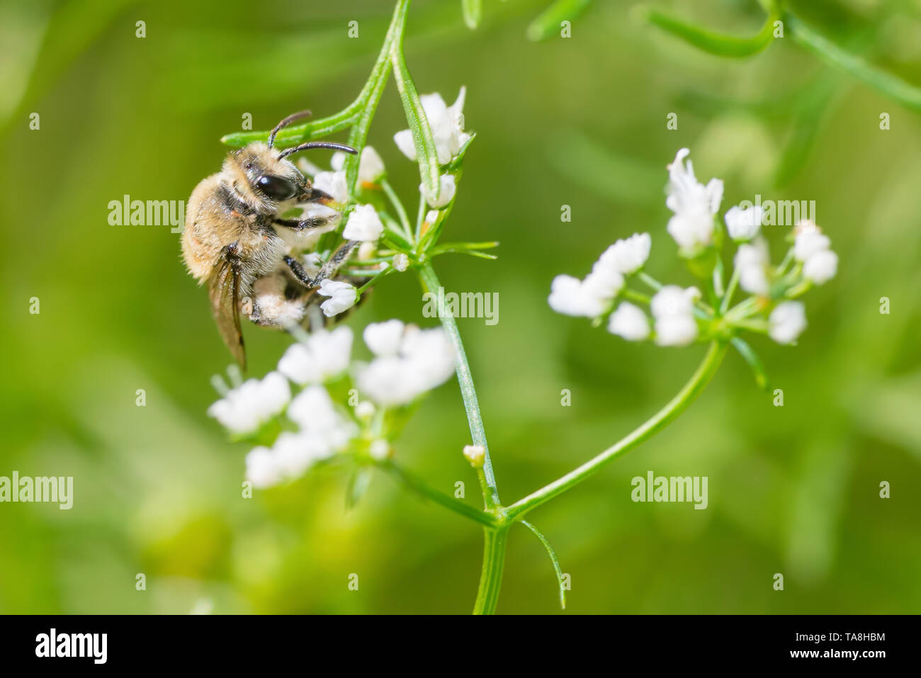 Bumble bee species feeding / pollinating on a white wildflower in Minnesota - Stock Image