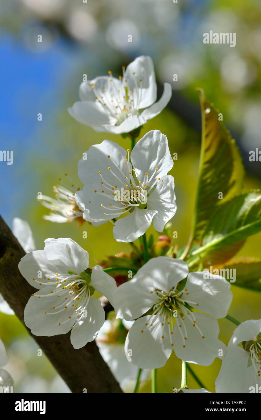 Branch with cherry blossom (Prunus), Germany, Europe - Stock Image