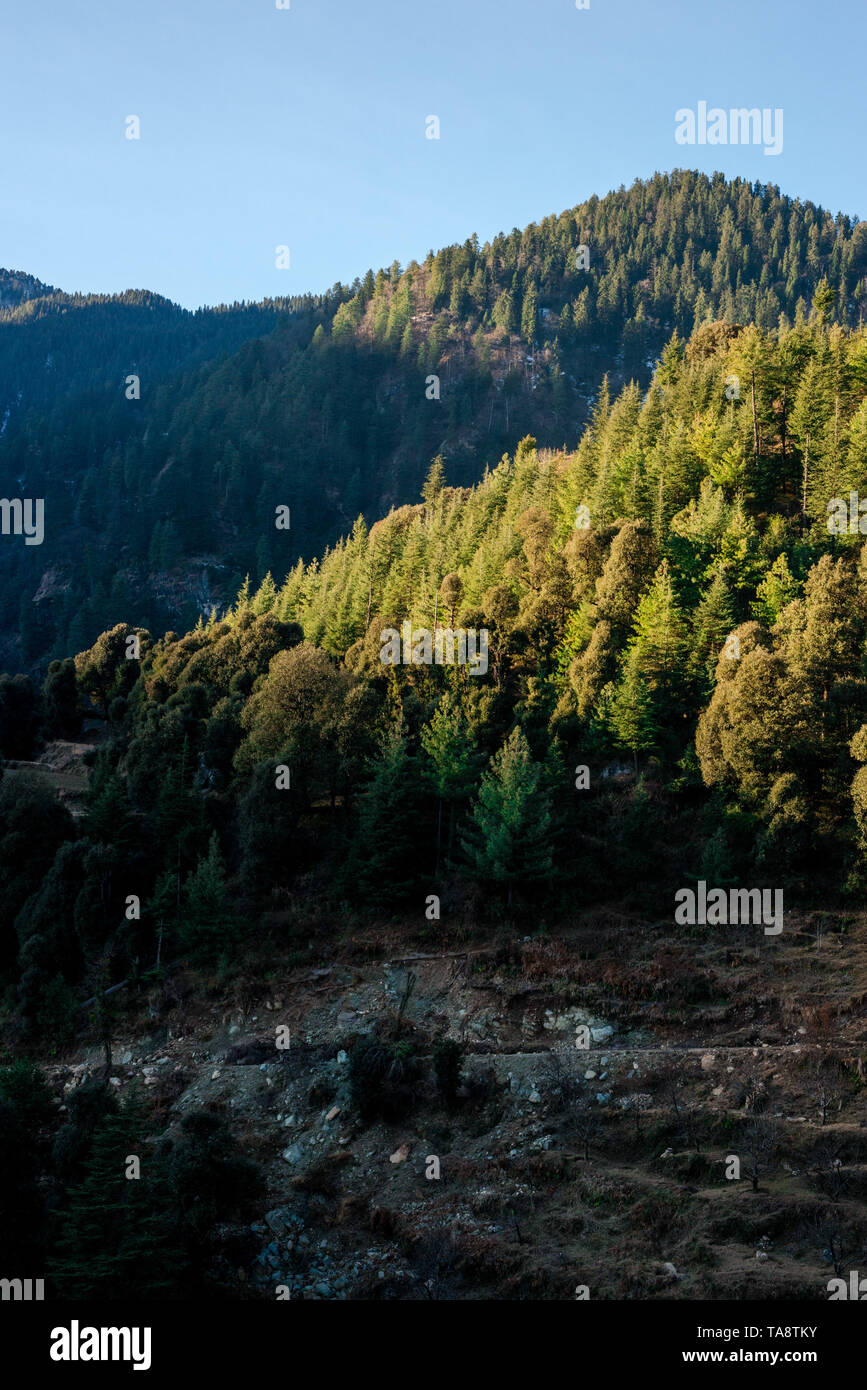 Sunset over deodar tree in himalayas - Beautifull evening in mountains - Stock Image