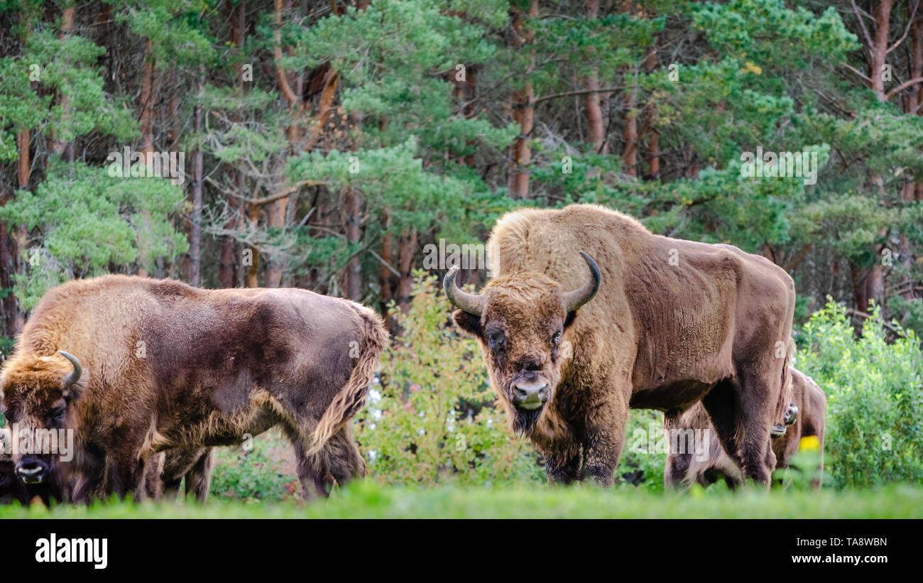 A small herd of European bison (Bison bonasus), also known as Wisent or the European wood bison, are grazing in a forest clearing. - Stock Image