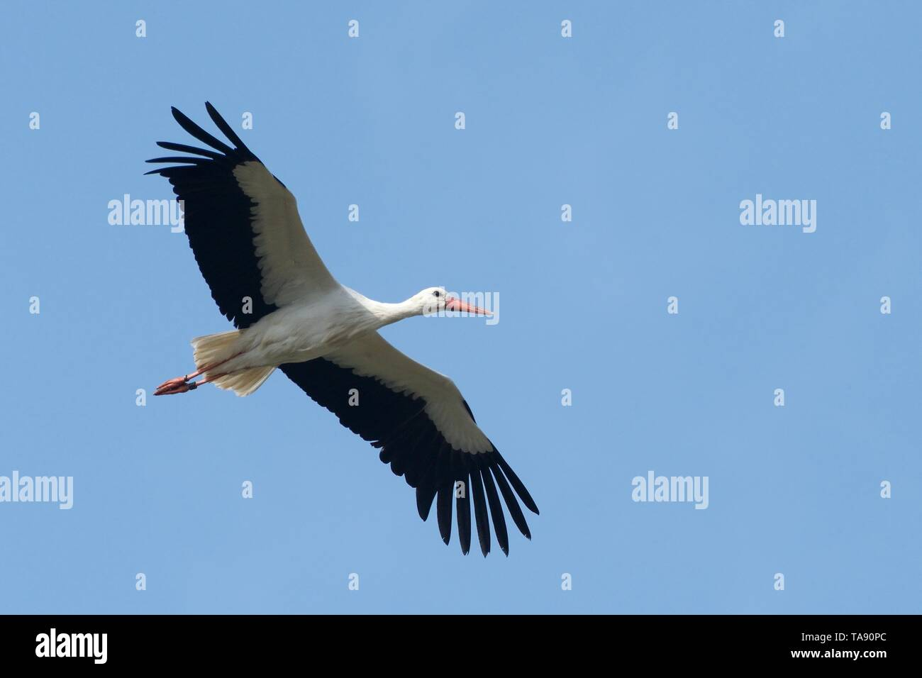 White stork (Ciconia ciconia) in flight against a blue sky over the Knepp estate, Sussex, UK, March. Stock Photo