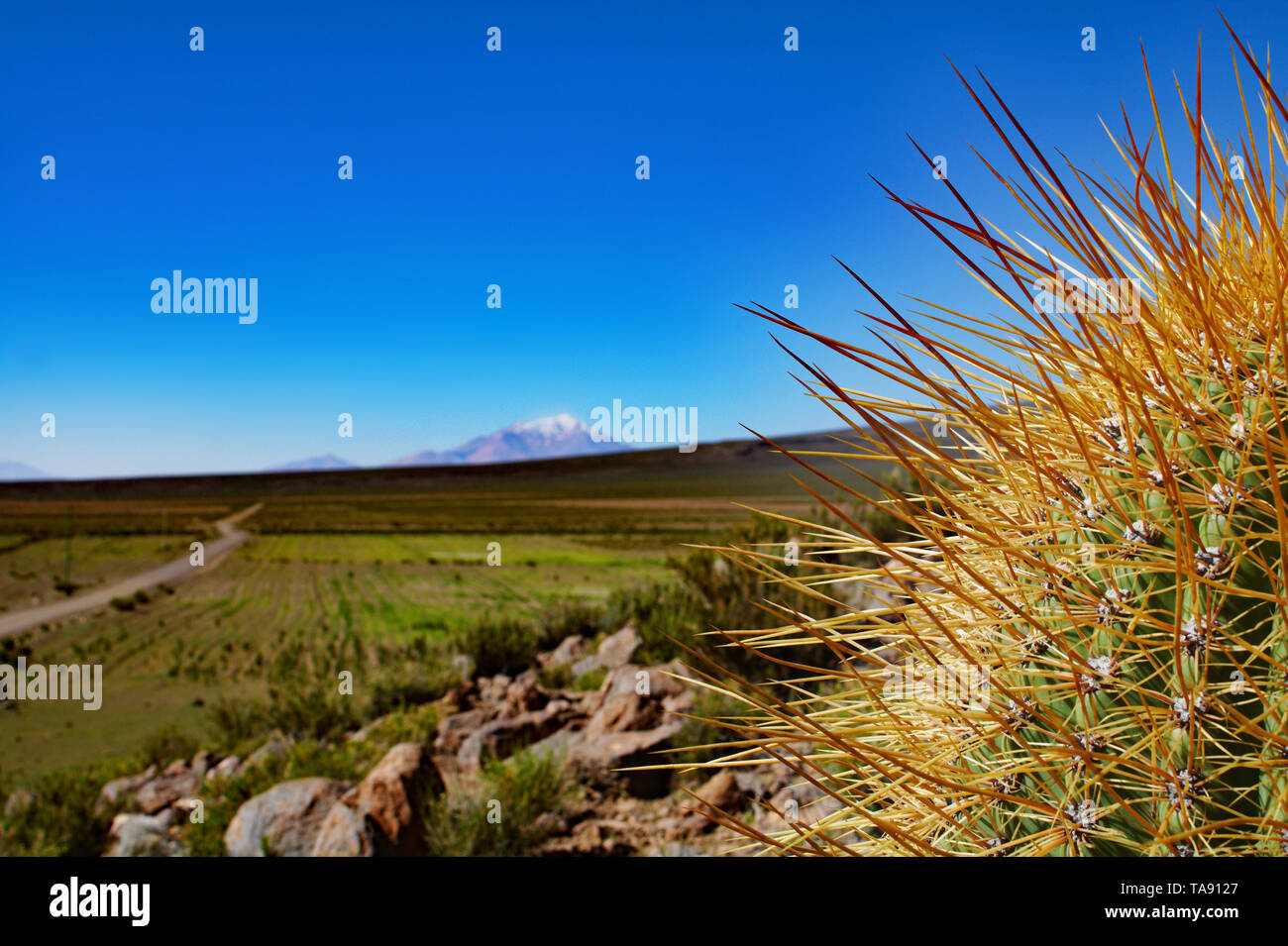 Cactus in the Bolivian Altiplanos with blurred background and volcano - Stock Image