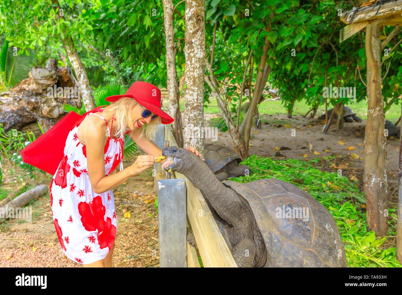 Elegant caucasian happy tourist woman feeding a ancient male of Aldabra Giant Tortoise, Aldabrachelys gigantea, a tortoise native to Aldabra atoll. Po - Stock Image