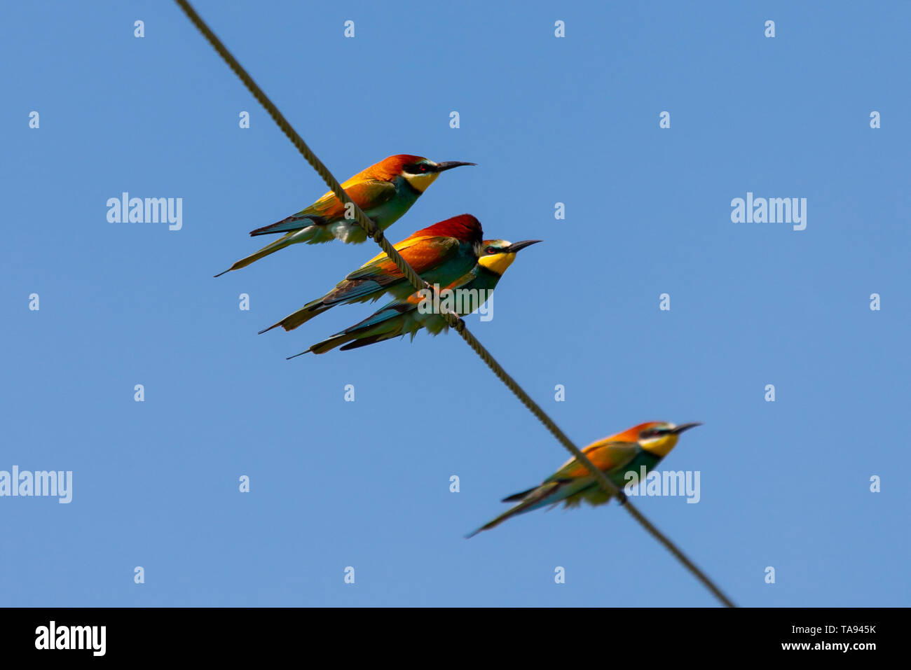 Bee-eater, European bee-eater bird on power line wire. - Stock Image