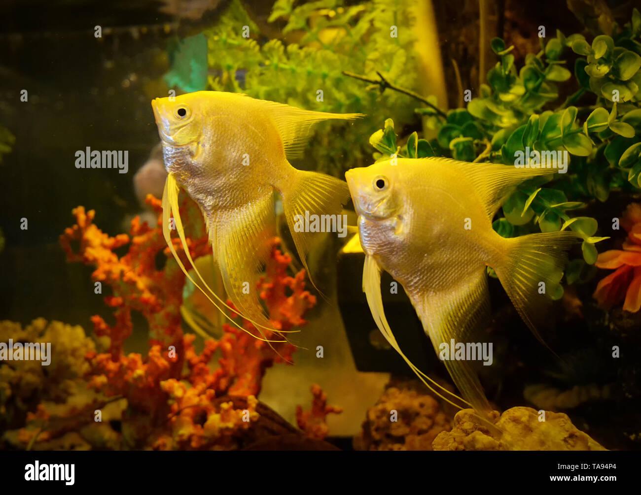 Silver Angelfish Swimming Fish Tank Underwater Aquarium Pterophyllum Scalare White Angel Fish Stock Photo Alamy