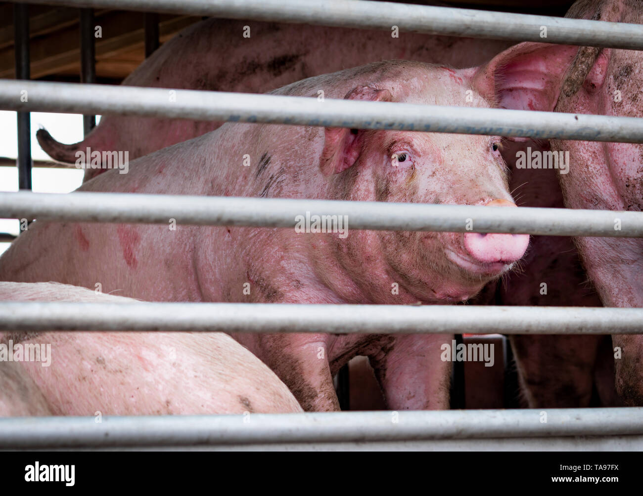 Pigs in truck transport from farm to slaughterhouse. Meat industry. Livestock. Animal meat market. Animals rights concept. Pig suffering and cruelty - Stock Image