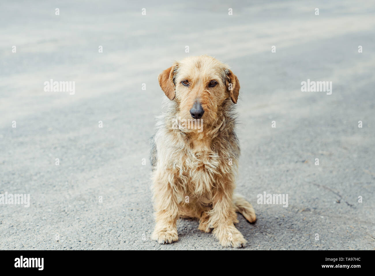 shaggy dog sitting on the pavement sad - Stock Image
