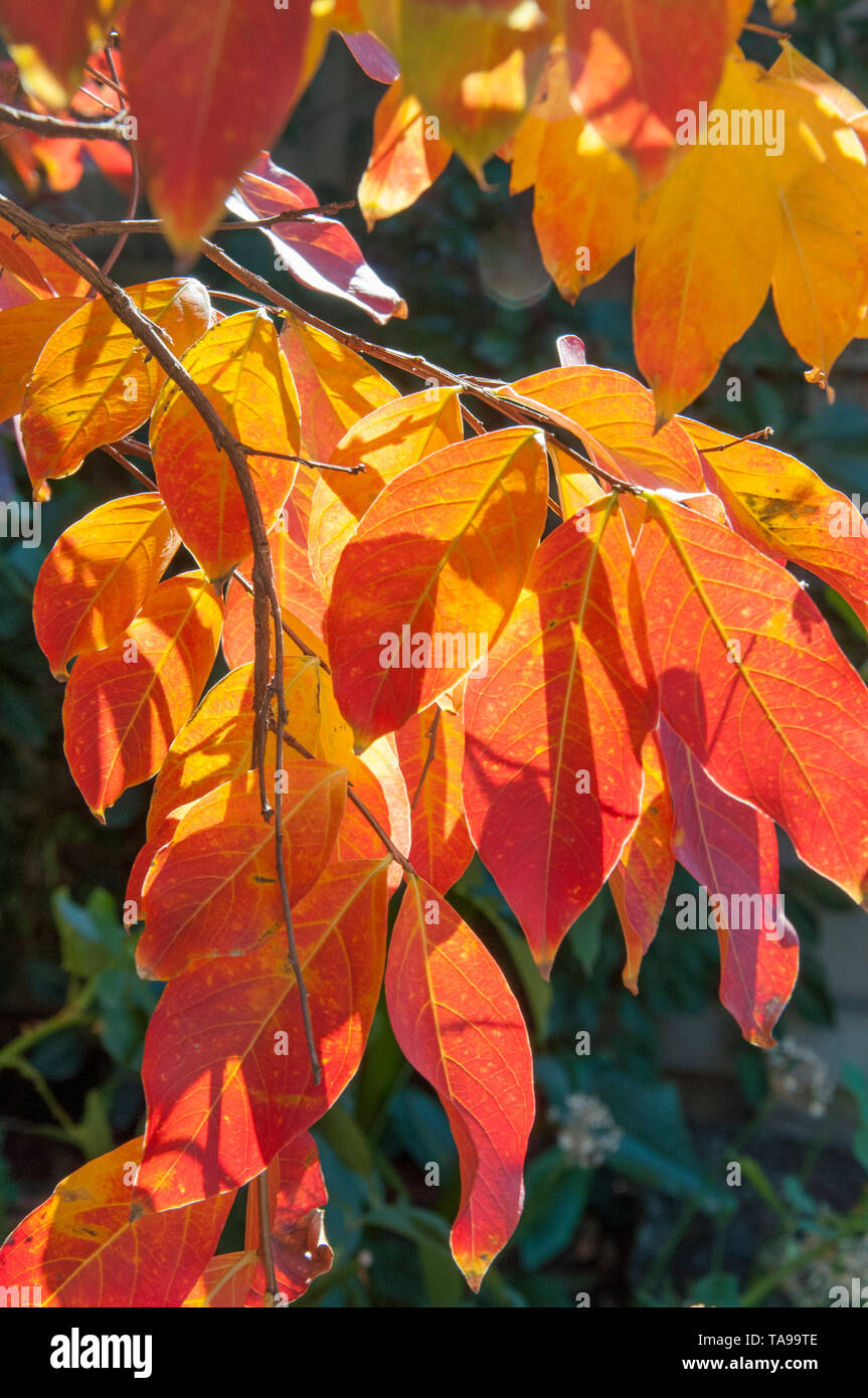Autumn colours in a garden in suburban Melbourne, Australia - Stock Image