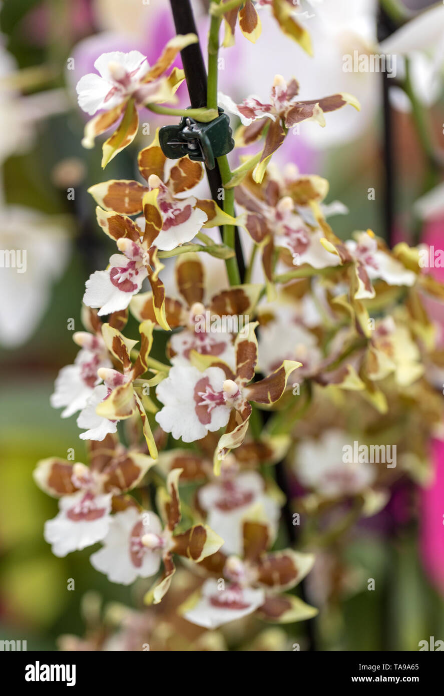Close up of  beauty colorful orchid flower - Stock Image