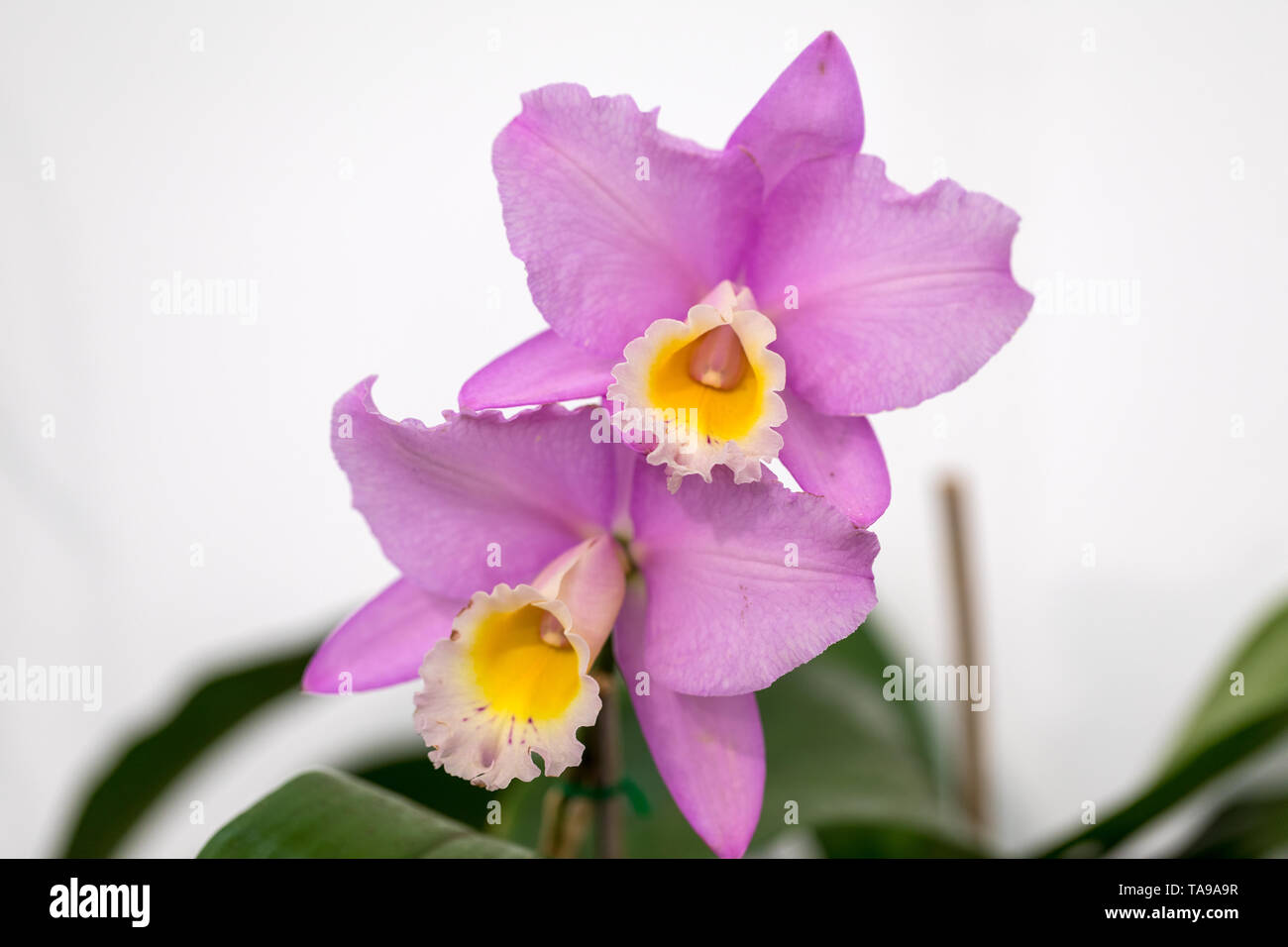 Close up of  beauty pink orchid flower - Stock Image