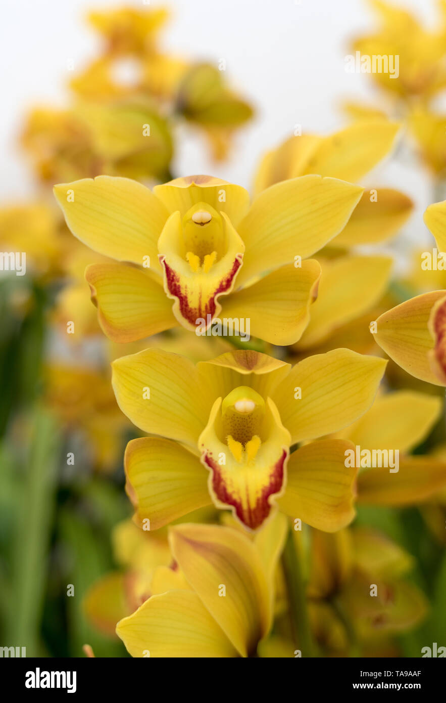 Close up of  beauty yellow orchid flower - Stock Image