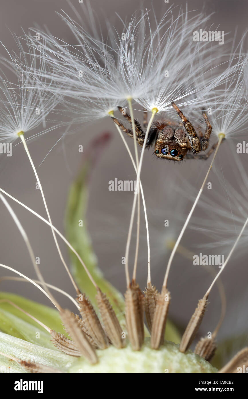 Jumping spider and dandelion fluff - Stock Image
