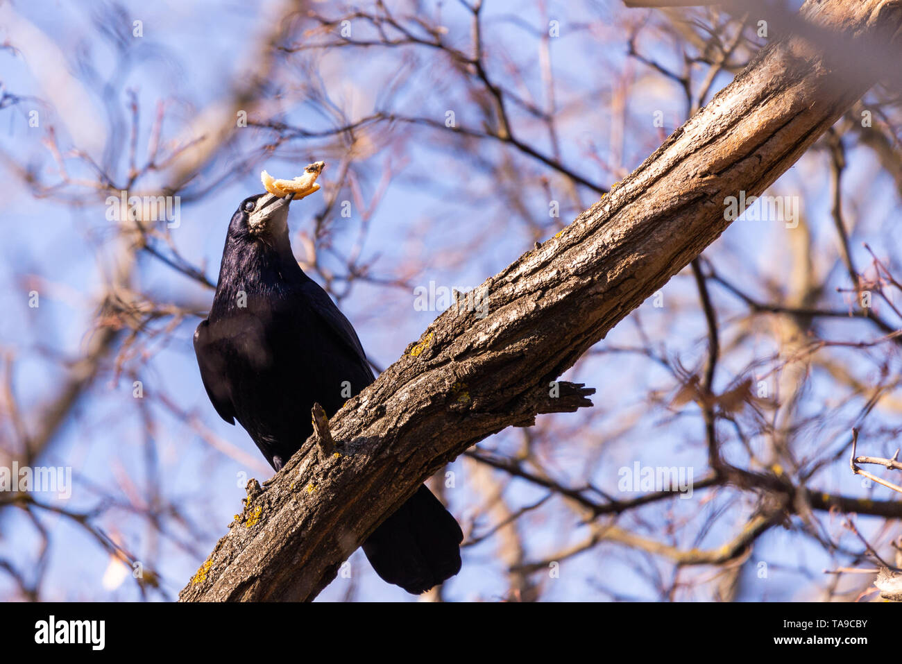 The rook or Corvus frugilegus is a member of the family Corvidae in the passerine order of birds. Stock Photo