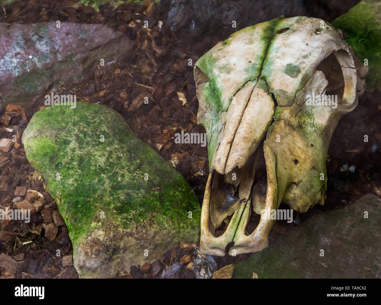 Weathered cow skull laying on the ground creepy halloween