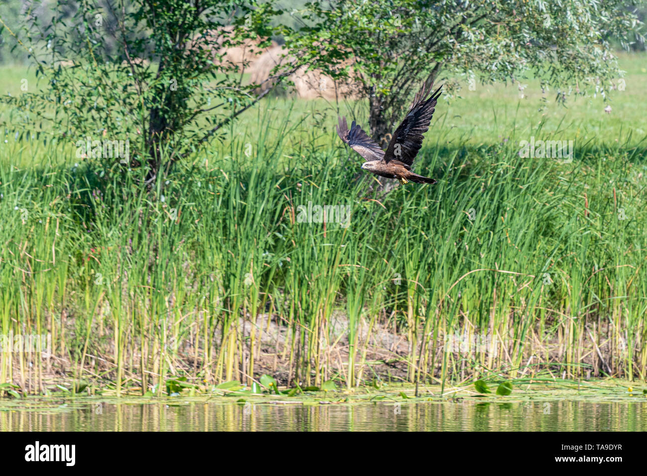 Flying on the background of trees the Hawk the Buzzard (buteo buteo). Hawk looking for prey. - Stock Image
