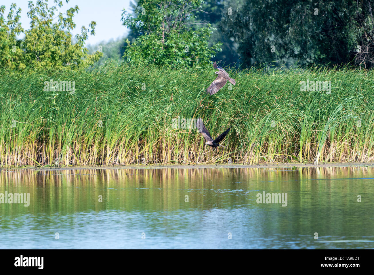 Hunting a pair of common Buzzard hawk (buteo buteo). The hawk preys on small fish. - Stock Image