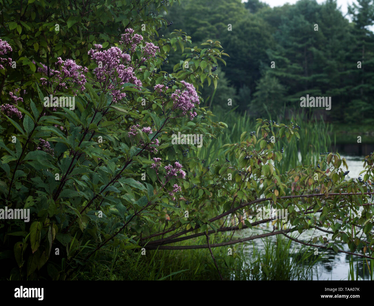 Dusty Pink Joe Pye Flowers Leaning over Pond at Dusk - Stock Image