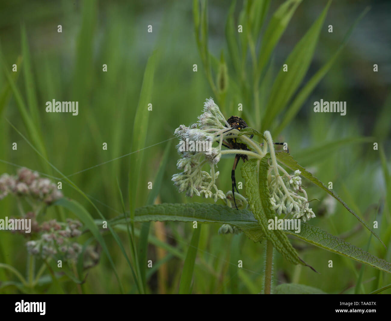 Orb Spider Weaving Web on Common Boneset - Stock Image