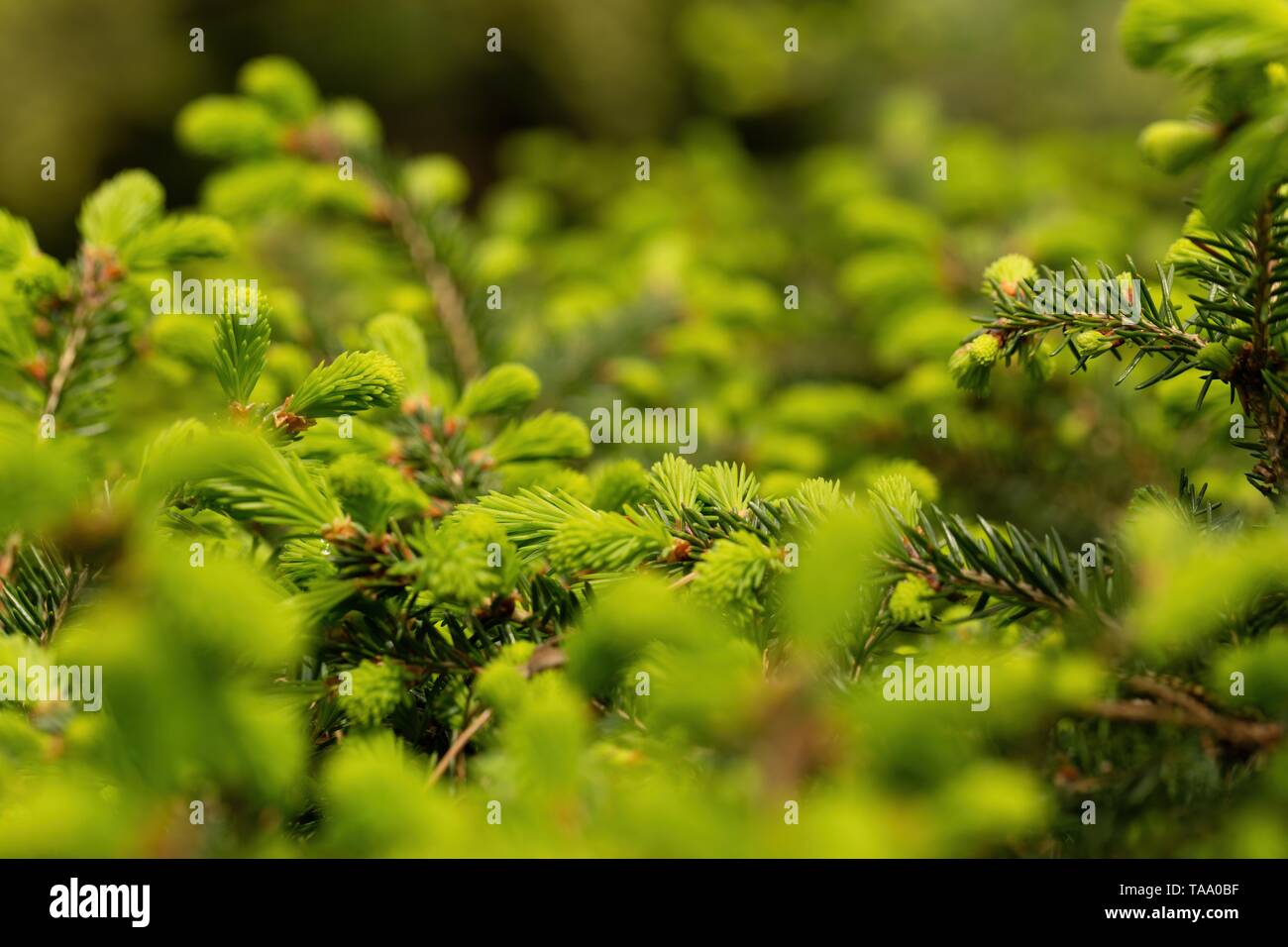 Background with young green conifer or larch tree branches in springtime - Stock Image