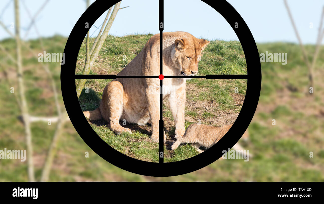 Hunting a lioness and cubs - Shooting with a scope - Stock Image