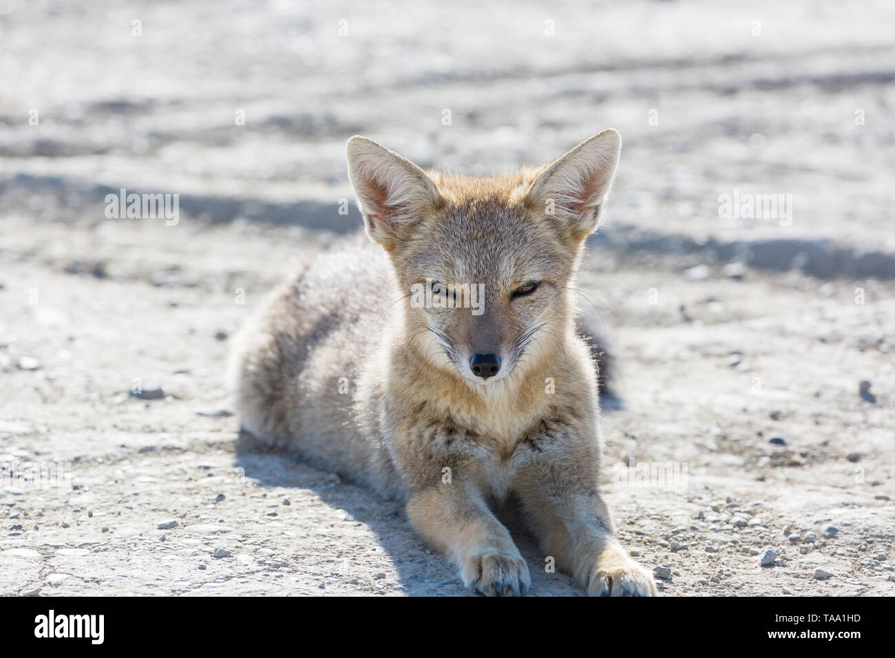 South American gray fox (Lycalopex griseus), Patagonian fox, in Patagonia mountains - Stock Image