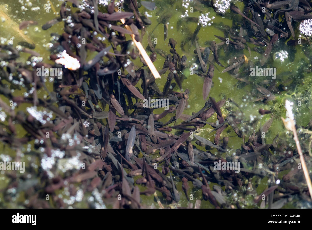 Common frog tadpoles in water, Finland - Stock Image