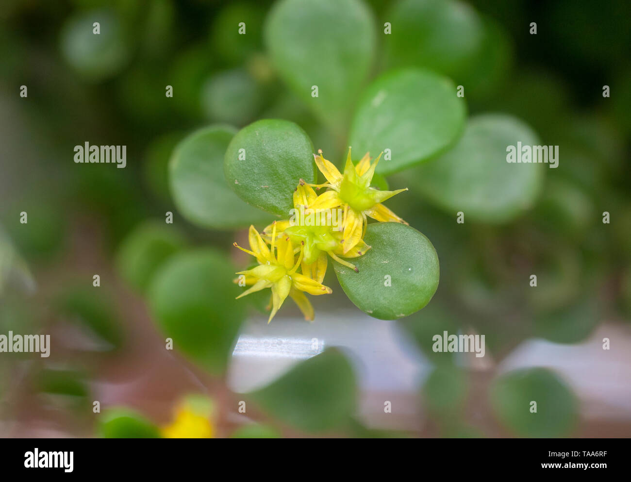 Golden Japanese Stonecrop (Sedum makinoi ogon) flowers and foliage. This is a tiny-leaved, spreading, ground cover Sedum that is noted for its bright  Stock Photo