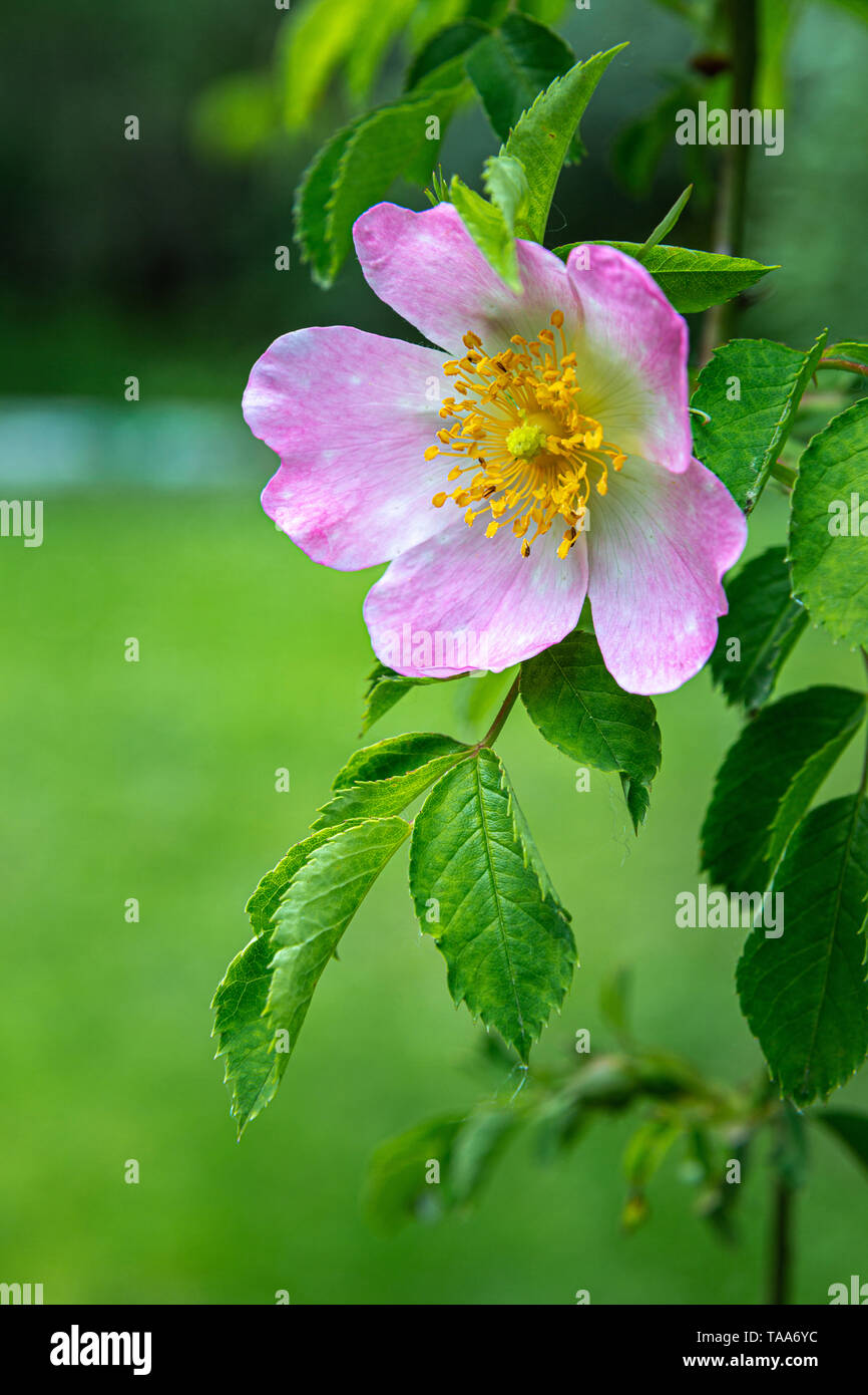 Rose hip in blossom (Rosa canina) - Stock Image