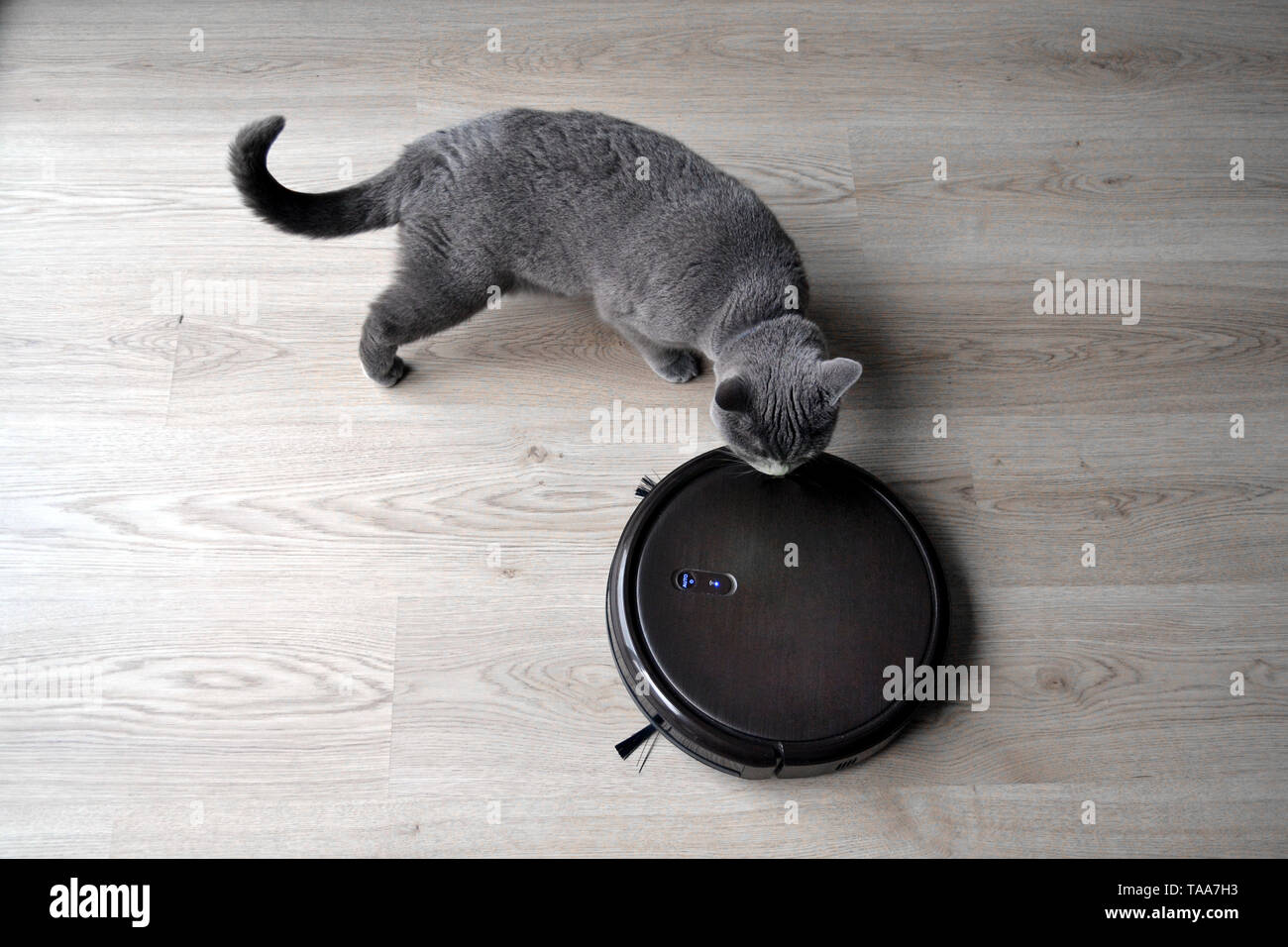 Robotic vacuum cleaner with a fluffy british shorthair cat in the room. Close up. - Stock Image