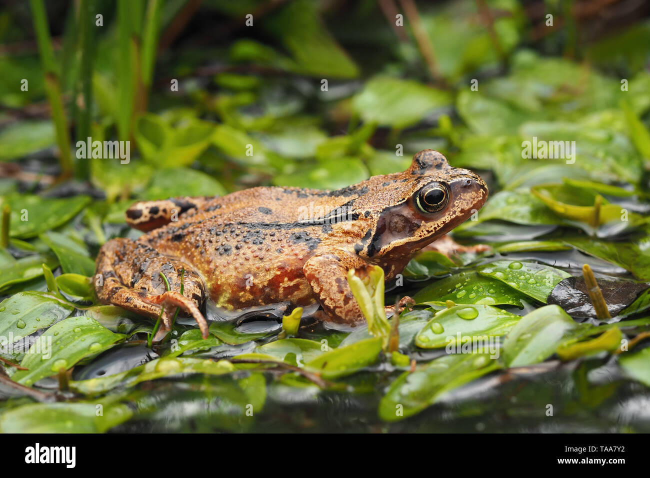 Common frog (Rana temporaria) resting in woodland pool. Tipperary, Ireland - Stock Image