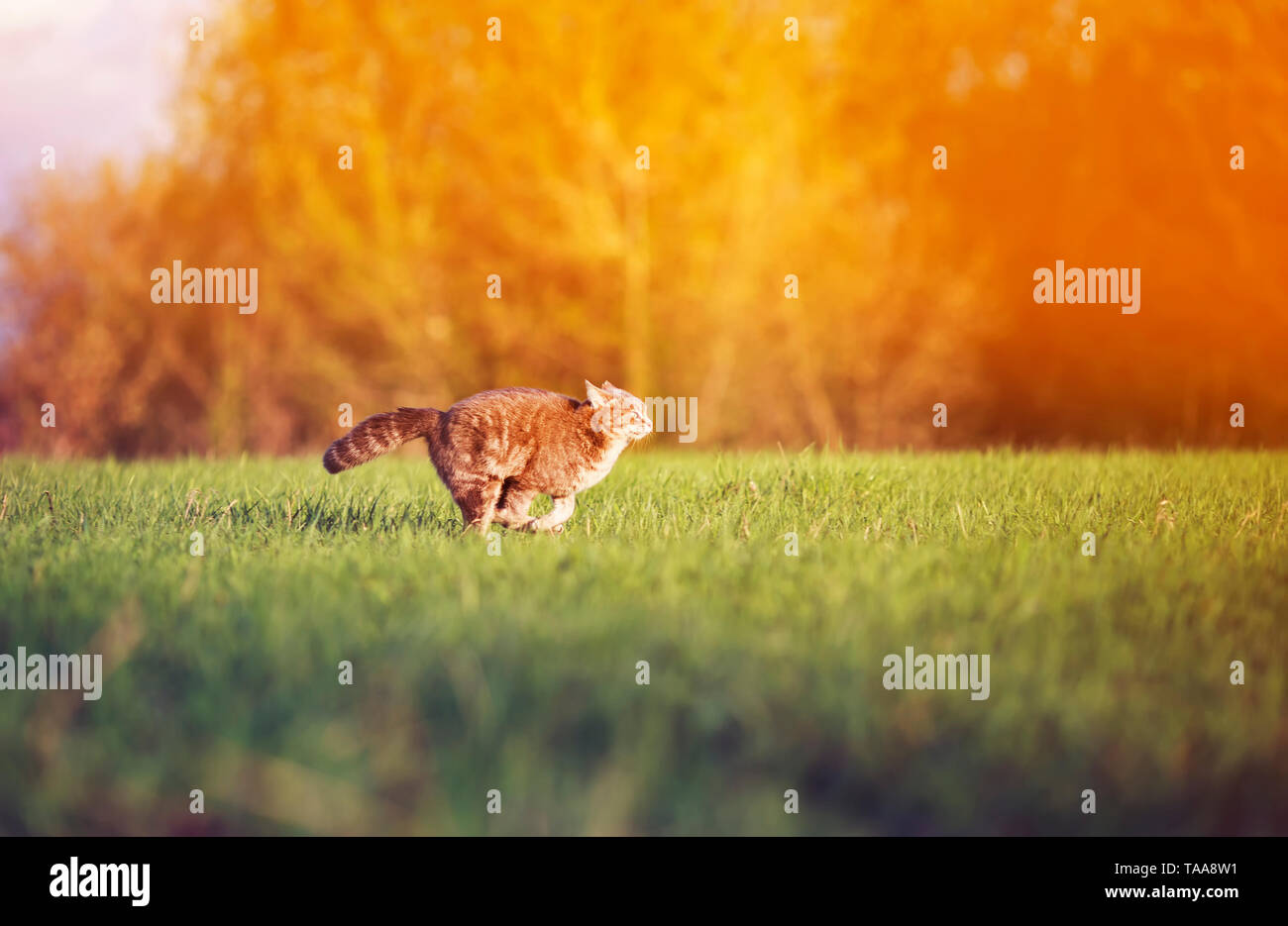 beautiful tabby cat swiftly and deftly runs on a green summer meadow graceful arching his back and tail - Stock Image