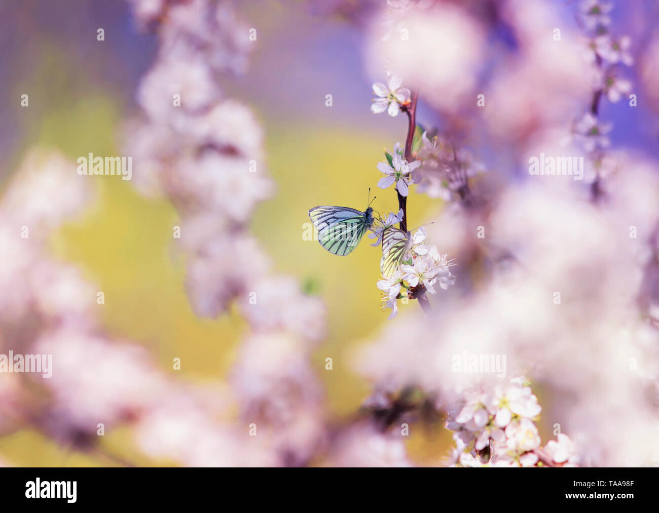 beautiful white butterflies flit over the branches with pink  buds of a flowering shrub in May warm sunny garden - Stock Image