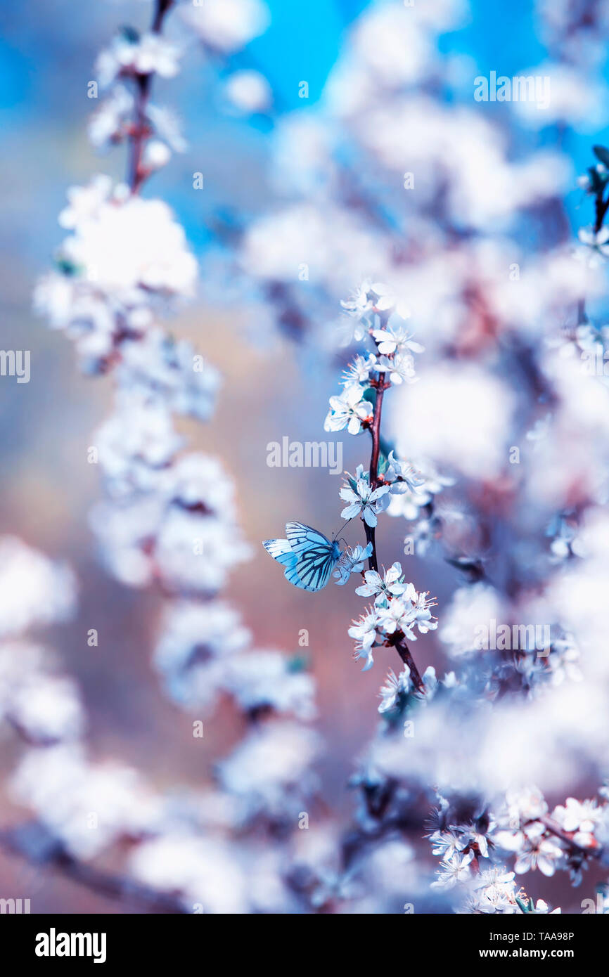 beautiful white butterflies flit over the branches with  buds of a flowering shrub in May warm sunny garden - Stock Image