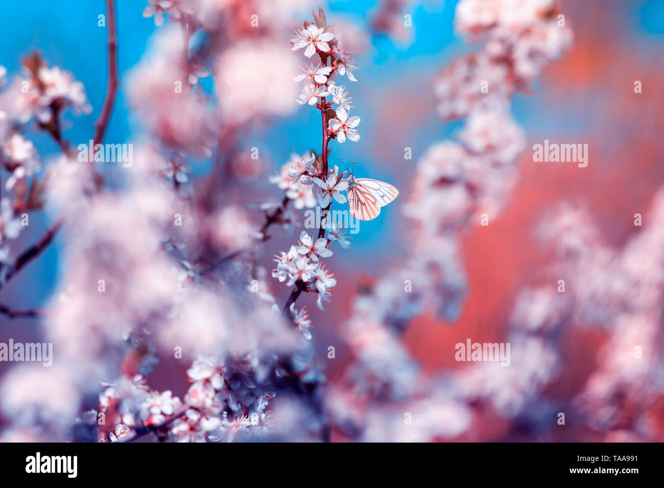 beautiful little butterflies flit over the branches with white the shrub buds blooming in the May warm sunny garden against the bright sun - Stock Image