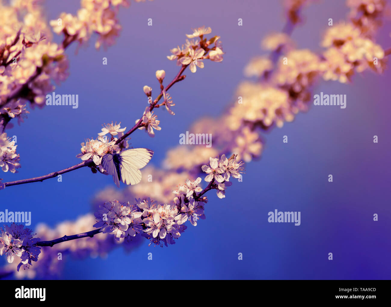white small a butterfly sits on branches with fluffy fragrant flowers and buds of a bush blossoming in May warm sunshine th garden lilac colors dawn - Stock Image