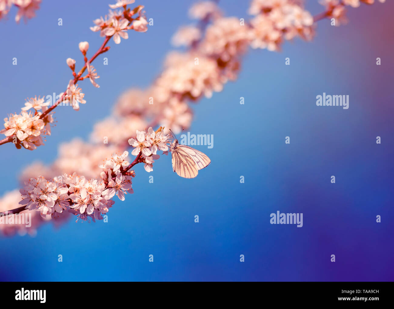 beautiful little butterfly sits on branches with white shrub buds blooming in May warm sunny garden on the background of bright blue sky - Stock Image