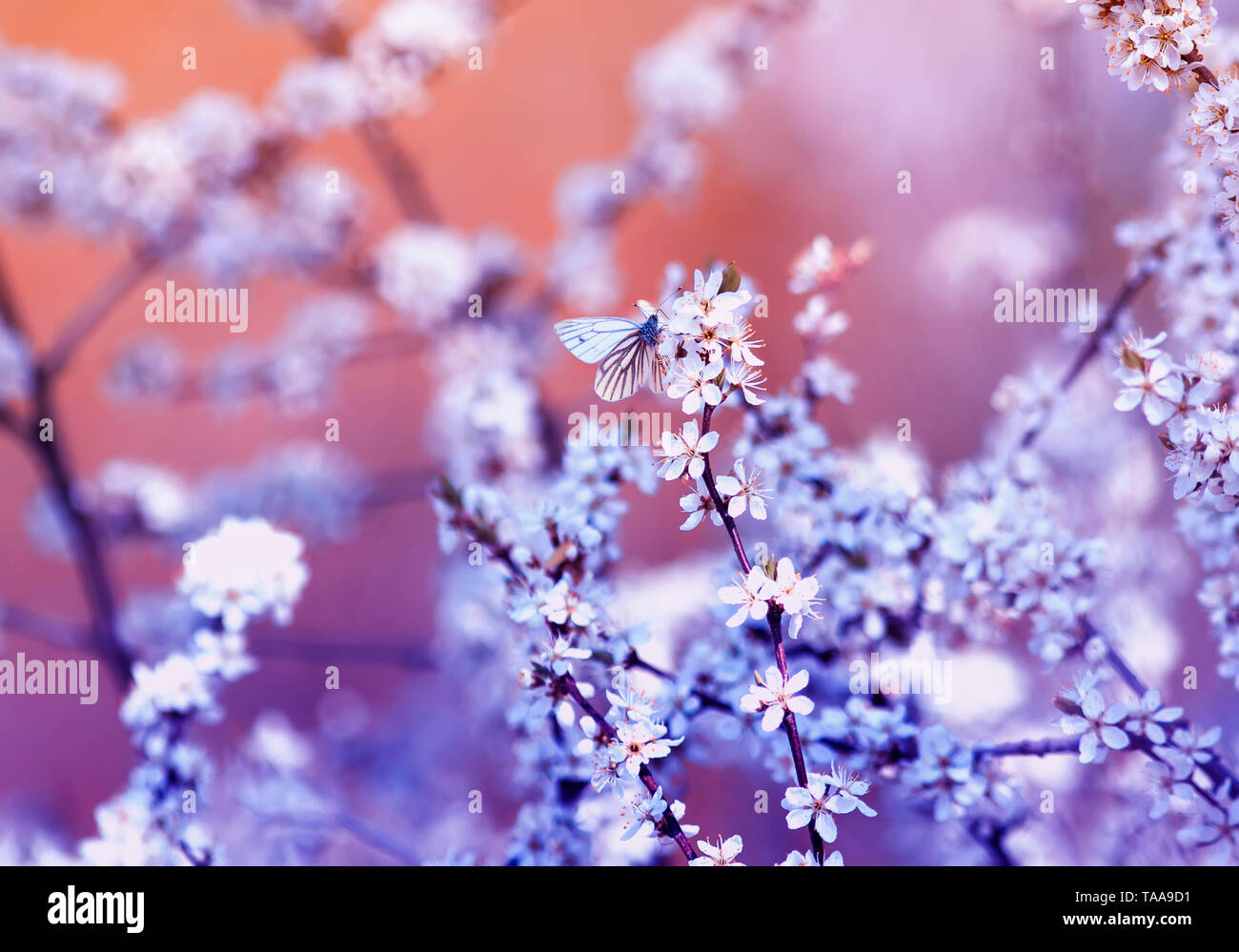 white small butterfly sitting on branches with fluffy fragrant flowers and shrub buds blossoming in May warm sunny garden in lilac flowers ah - Stock Image