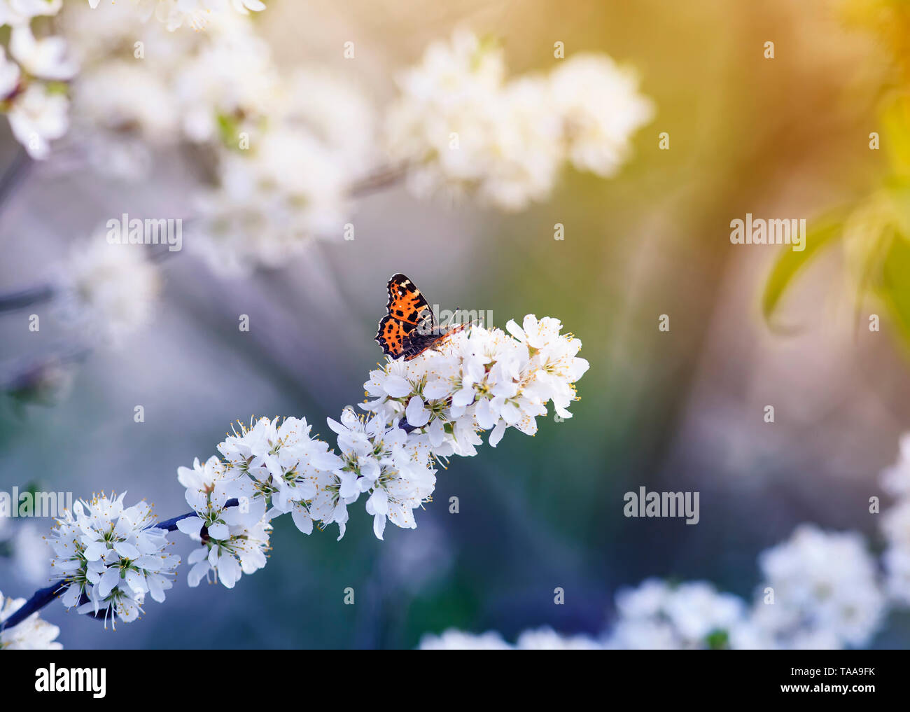 motley orange a small butterfly sits on branches with fluffy fragrant flowers and buds of a bush blossoming in May Plomo sunny garden in shades of lil - Stock Image