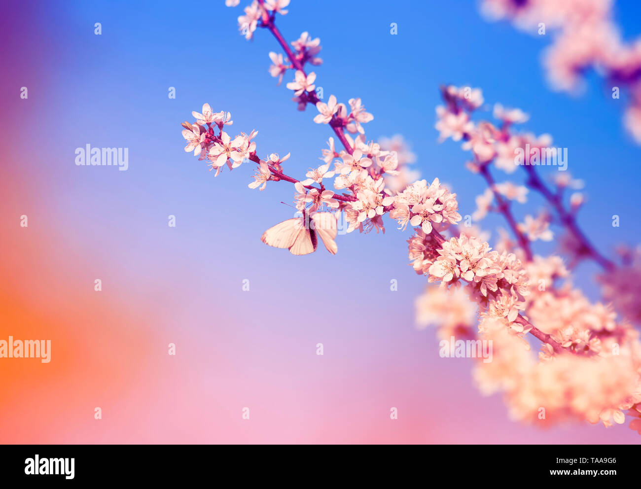 beautiful little butterfly flutters over the branches with white shrub buds blooming in May warm sunny garden on the background of bright blue sky - Stock Image